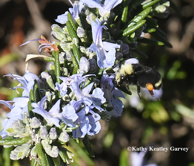 The yellow-faced bumble bee, Bombus vosnesenskii, heads for another rosemary blossom at the Benicia Marina. (Photo by Kathy Keatley Garvey)