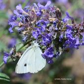 A cabbage white butterfly, Pieris rapae, nectaring on catmint last summer in Vacaville, Calif. (Photo by Kathy Keatley Garvey)