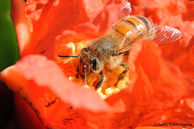 A honey bee pollinating a pomegranate blossom in Vacaville, Calif. (Photo by Kathy Keatley Garvey)