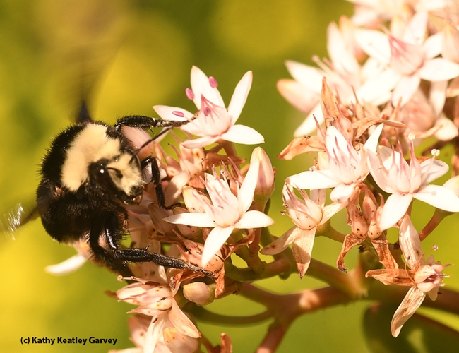 Not a moment to spare! This yellow-faced bumble bee nectaring on jade blossoms in Benicia is taking advantage of the warm weather and early blooms. (Photo by Kathy Keatley Garvey)