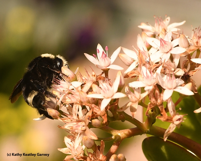 Going sideways! The yellow-faced bumble bee pauses for a moment on jade blossoms in Benicia. (Photo by Kathy Keatley Garvey)