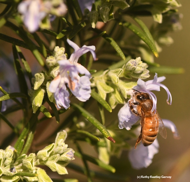 A honey bee nectars on a rosemary blossom on Feb. 9 on the UC Davis campus. (Photo by Kathy Keatley Garvey)