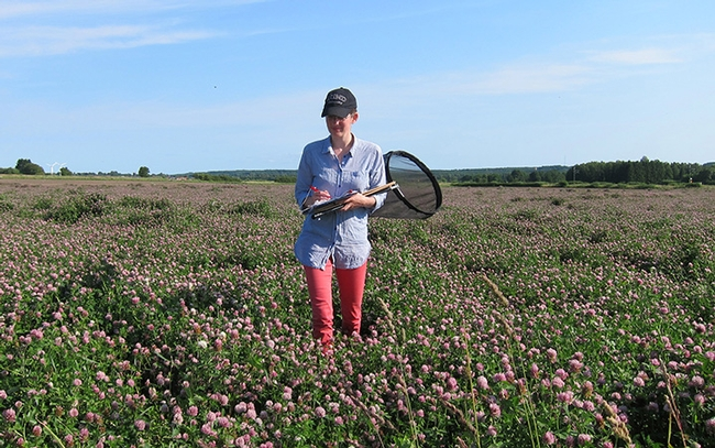 Researcher Maj Rundlöf working in red clover seed field in Skåne, southern Sweden. (Photo by Christian Krintel)