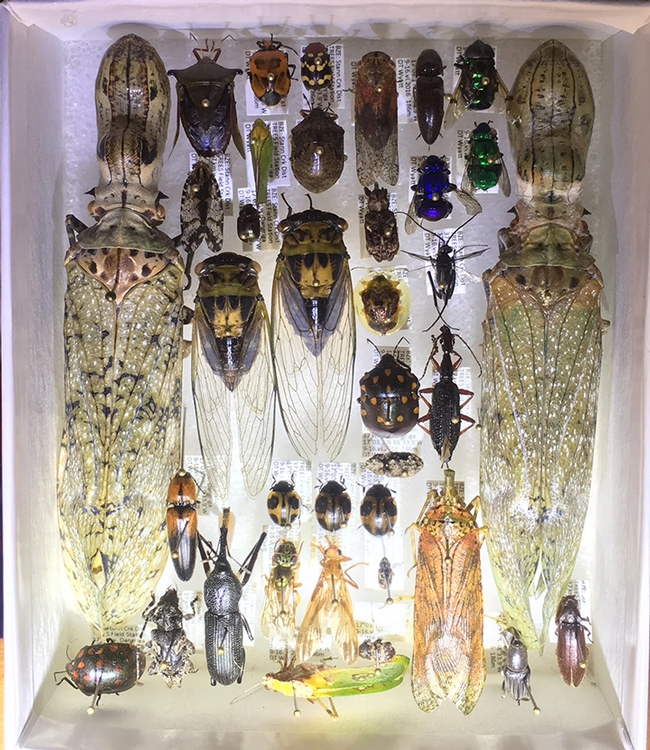These are some of the insects collected in Belize on a collection trip led by Professors David Wyatt of Sacramento City College and Fran Keller of Folsom Lake College. (Photo by Fran Keller)