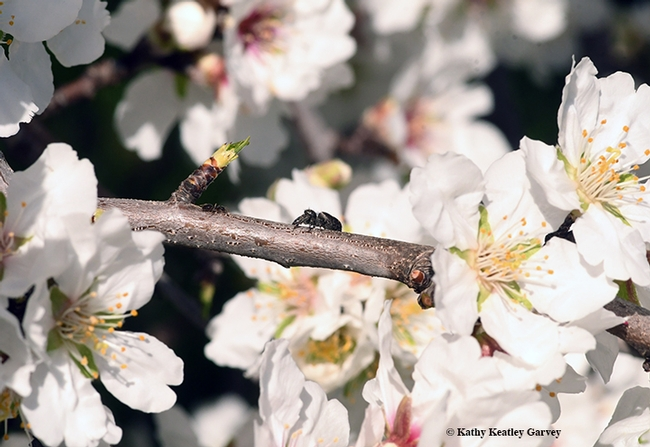 Can you see an ant and a spider in this photo of an almond tree? It's a winter ant, Prenolepis imparis and a jumping spider, Salticidae. (Photo by Kathy Keatley Garvey)