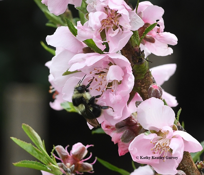 The black-tailed bumble bee, Bombus melanopygus, forages on nectarine blossoms. (Photo by Kathy Keatley Garvey)
