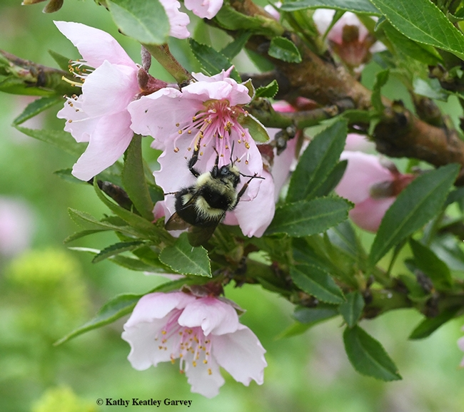 Delicate pink blossoms and a very hardy bumble bee, Bombus melanopygus. (Photo by Kathy Keatley Garvey)
