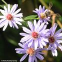 Honey bee nectaring on an aster. Many asters will be for sale at UC Davis on Saturday, April 7. (Photo by Kathy Keatley Garvey)