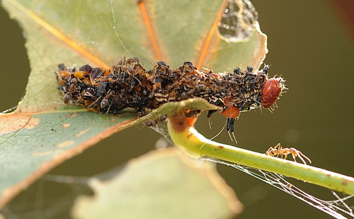 THIS redhumped caterpillar never made it to a redhumped caterpillar moth. A spider and an army of Argentine ants made sure of that. (Photo by Kathy Keatley Garvey)