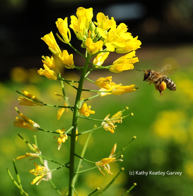 The honey bee heads straight for the mustard. (Photo by Kathy Keatley Garvey)