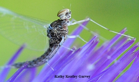 An adult mayfly on an artichoke blossom. Mayflies are the primary source of models for artificial flies--hooks tied with colorful  threads and feathers--used in fly fishing. (Photo by Kathy Keatley Garvey)