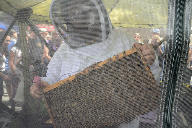 California Honey Festival attendees got this view, as Elina Lastro Niño held out a frame. (Photo by Kathy Keatley Garvey)