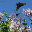 Pipevine swallowtails at the UC Davis Arboretum. (Photo by Kathy Keatley Garvey)