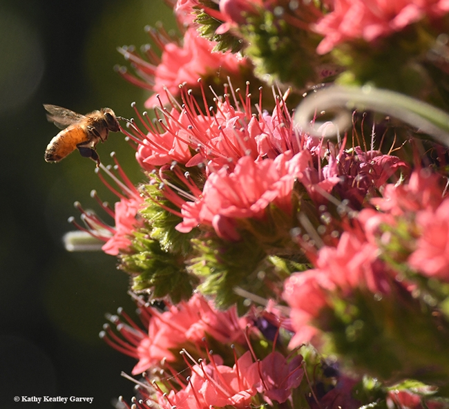 A honey bee heads for a tower of jewels, Echium wildpretii, a biennual. This image was taken in Vacaville, Calif.  (Photo by Kathy Keatley Garvey)