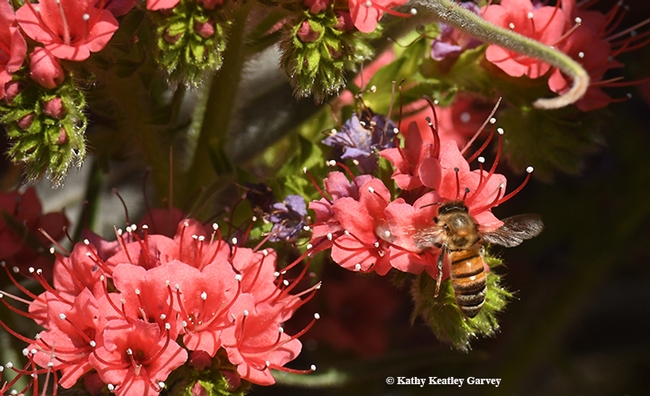 Nectar! Honey bees love echium due to its high nectar content. This one also yields blue pollen. (Photo by Kathy Keatley Garvey)