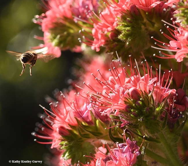 On the move! It's off to find another nectar-rich blossom. (Photo by Kathy Keatley Garvey)