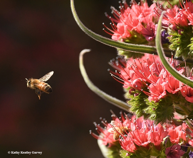 Time to head home to the colony and unload the nectar and pollen. (Photo by Kathy Keatley Garvey)