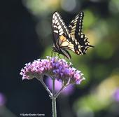 Anise Swallowtail Papilio zelicaon, nectaring on Verbena in Vacaville, Calif. (Photo by Kathy Keatley Garvey)