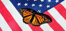 A majestic monarch butterfly, an icon, on an American flag. (Photo by Kathy Keatley Garvey) for Bug Squad Blog