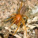 The woodlouse spider, Dysderca crocata, is neither a new species nor deadly, contrary to a Facebook hoax disguised as a public service announcement. (Photo by Michel Vuijlsteke, courtesy of Wikipedia)