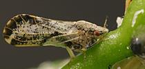 The Asian citrus psyllid, about the size of an aphid, is a major threat to the multibillion dollar citrus industry in the United States.(Photo courtesy of the California Department of Food and Agriculture) for Bug Squad Blog