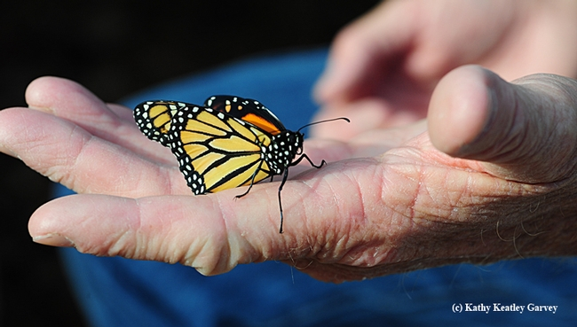 Many senior citizens who develop new hobbies (such as rearing monarch butterflies) believe this keeps their brain active and leads to greater enthusiasm for life. Supercentarian Jeanne Calment of France lived to be 122. One of her interests was playing the piano. (Photo by Kathy Keatley Garvey)