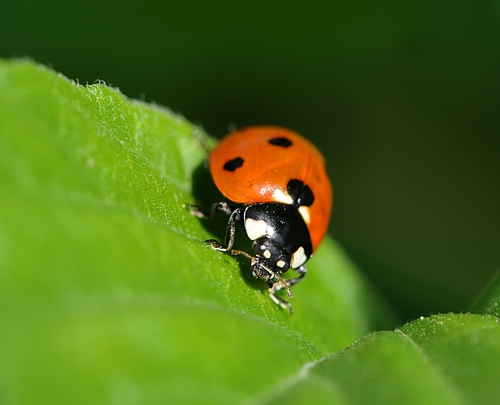 LADYBUG searches for aphids at the San Ysidro Ranch. (Photo by Kathy Keatley Garvey)