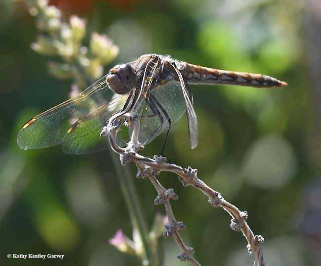 This variegated meadowhawk dragonfly, a strong wind drooping its wings, nevetheless kept returning to this perch, a spent salvia. (Photo by Kathy Keatley Garvey)