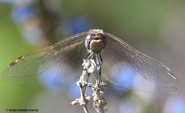 Eye to eye with a variegated meadowhawk dragonfly, Sympetrum corruptum. (Photo by Kathy Keatley Garvey)