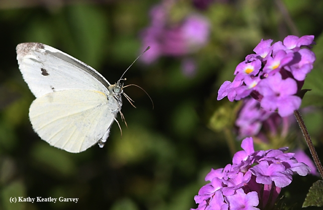 A cabbage white butterlfy, Pieris rapae, heads for lantana in a Vacaville garden. (Photo by Kathy Keatley Garvey)