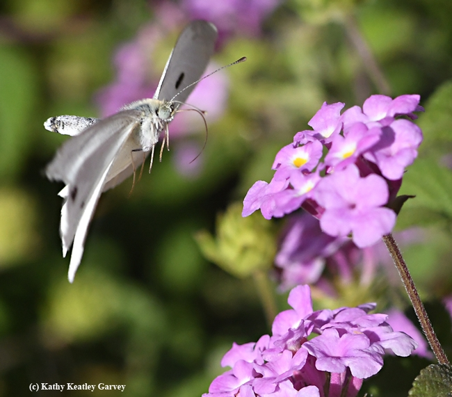 The cabbage white butterfly flips. (Photo by Kathy Keatley Garvey)