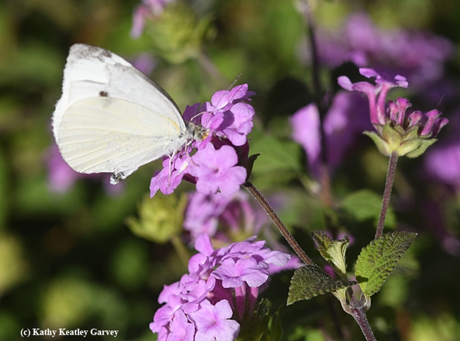 Cabbage white butterfly returns to sip some nectar from the lantana. (Photo by Kathy Keatley Garvey)