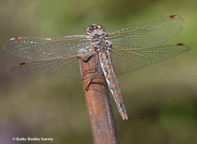"In this view, you can see the ""bi-colored"" Pterostigma on the wing tip and the two black spots on the top of the tip of the abdomen,"