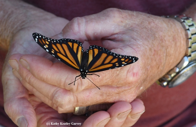 A newly eclosed monarch, ready to take flight. This image was taken on Sept. 24, 2018 in Vacaville, Calif. (Photo by Kathy  Keatley Garvey)