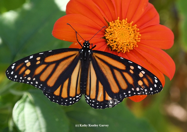 Spreading her wings on a Mexican sunflower (Tithonia), the newly released Monarch is about to take flight. (Photo by Kathy Keatley Garvey)