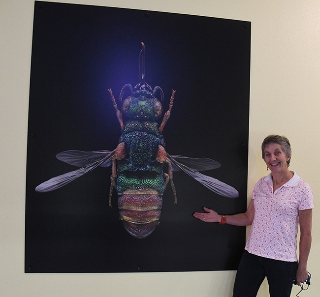 Lynn Kimsey, director of the Bohart Museum of Entomology, welcomes the new addition, a microsculpture of a ruby-tailed wasp by Levon Biss of London. (Photo by Kathy Keatley Garvey)