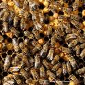 "What's going on in the hive? World-renowned honey bee geneticist Robert Eugene ""Rob"" Page Jr., the 2018 recipient of the Thomas and Nina Leigh Distinguished Alumni Award, UC Davis Department of Entomology and Nematology, will speak on"
