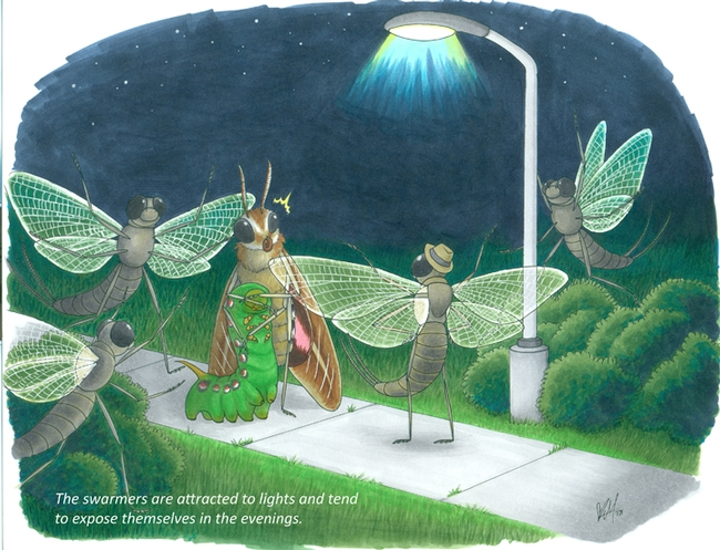 """The swarmers are attracted to lights and tend to expose themselves in the evenings,"