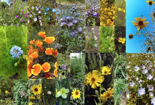 These are some of the 43 plants tested in the UC Davis research garden. This is an illustration from the research paper. (Photos by Ola Lundin)