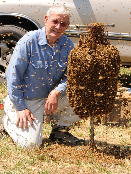 'BEE MAN' Norman Gary with a cluster of bees. This photo was taken prior to a bee wrangling stunt for a television program earlier this year. (Photo by Kathy Keatley Garvey)