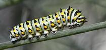 An anise swallowtail caterpillar, Papilio zelicaon. UC Davis distinguished professor Bruce Hammock's research on metamorphosis has led to human-focused research. (Photo by Kathy Keatley Garvey) for Bug Squad Blog