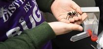 Mexican redknee tarantula, the new project of 9-year-old Delsin Russell of Vacaville. Santa delivered the much-wanted gift on Christmas Eve. (Photo by Kathy Keatley Garvey) for Bug Squad Blog