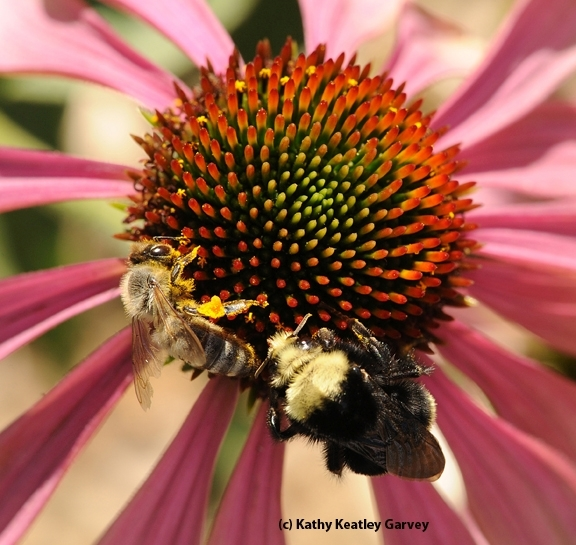 A yellow-faced bumble bee, Bombus vosnesenskii, and a honey bee, Apis mellifera, share a purple coneflower, Echinacea purpurea. (Photo by Kathy Keatley Garvey)