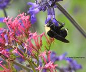A yellow-faced bumble bee, Bombus vosnesenskii, nectaring on a spiked floral purple plant, Salvia indigo spires (Salvia farinacea x S. farinacea). (Photo by Kathy Keatley Garvey)