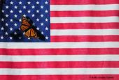 A monarch on the American flag. (Photo by Kathy Keatley Garvey)