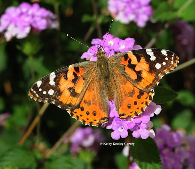A painted lady, Vanessa cardui, photographed on lantana in Vacaville in 2015. (Photo by Kathy Keatley Garvey)