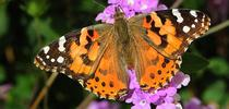 A painted lady, Vanessa cardui, photographed on lantana in Vacaville in 2015. (Photo by Kathy Keatley Garvey) for Bug Squad Blog