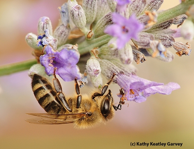 A velevety tree ant touches the antenna of a honey bee in this photo taken on lavender blossoms in Vacaville, Calif. (Photo by Kathy Keatley Garvey)