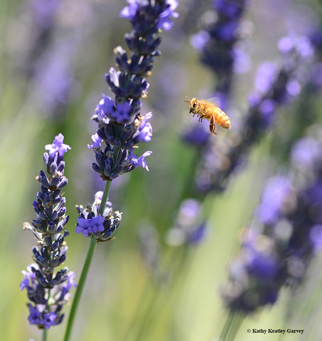 A Cordovan honey bee, the color of pure gold, takes flight through the lavender fields. (Photo by Kathy Keatley Garvey)