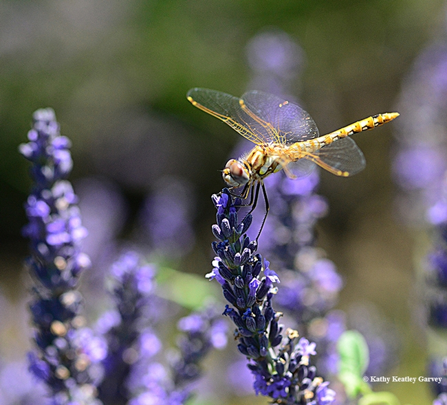 A variegated meadowhawk (Sympetrum corruptum)in the lavender fields. (Photo by Kathy Keatley Garvey)